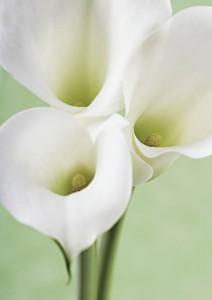 Sympathy - Calla Lilies