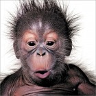 Alfie the Orang-utan