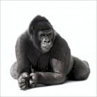 Harvey the Gorilla