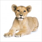 Sasha the Lion Cub