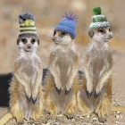 Meerkats in Hats