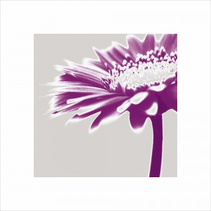 Purple Gerbera