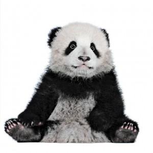 Albert the Panda Cub
