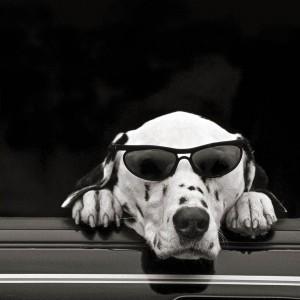 Dalmatian Dude