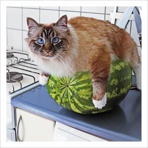 Melon Cat